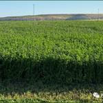 西班牙苜蓿夏季的收获