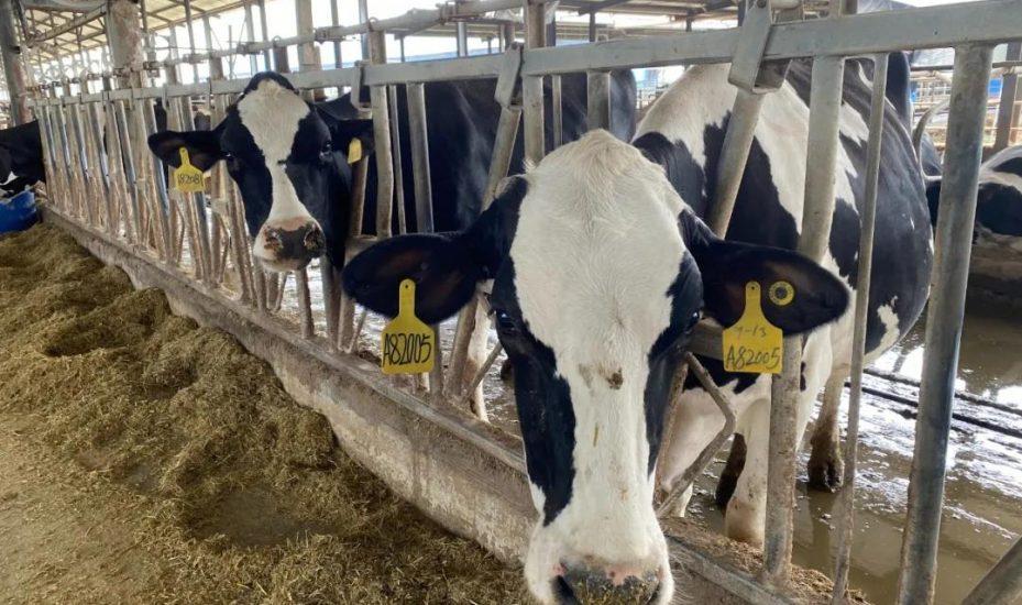 西班牙脱水苜蓿饲喂奶牛对比试验